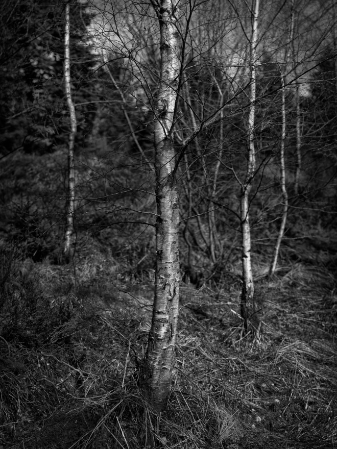 Birch trees Kielder