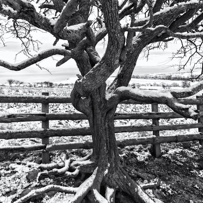 Winter Tree and Fence