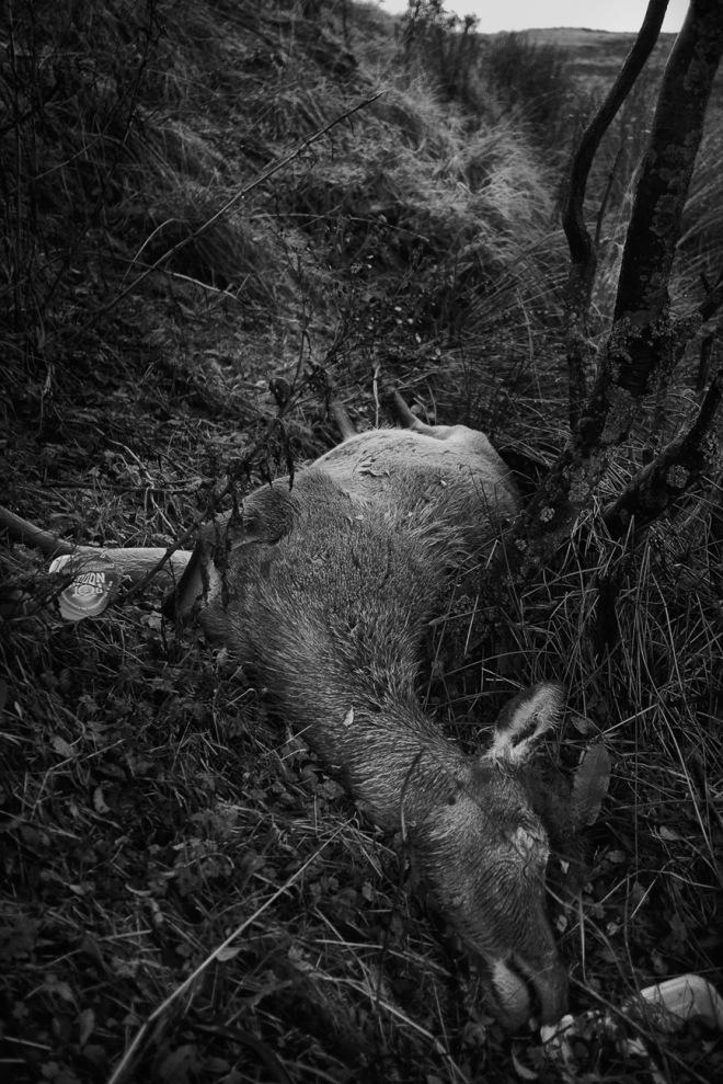 Glencoe_dead_deer_1-1